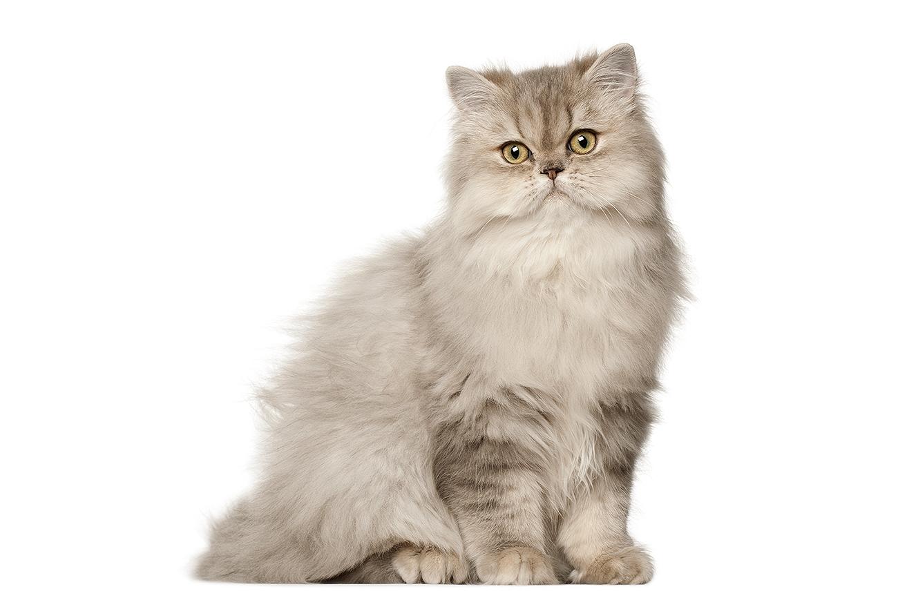 Con 60.500 búsquedas medias mensuales, el gato persa, el gato...