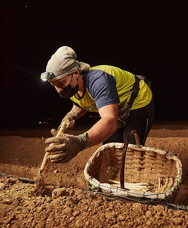 Recolección de espárragos en Mendavia. La recogida de esta planta se realiza por la noche entre los meses de abril y mayo.