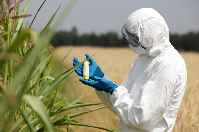 Un ingeniero de biotecnología examina una mazorca de maíz inmadura.