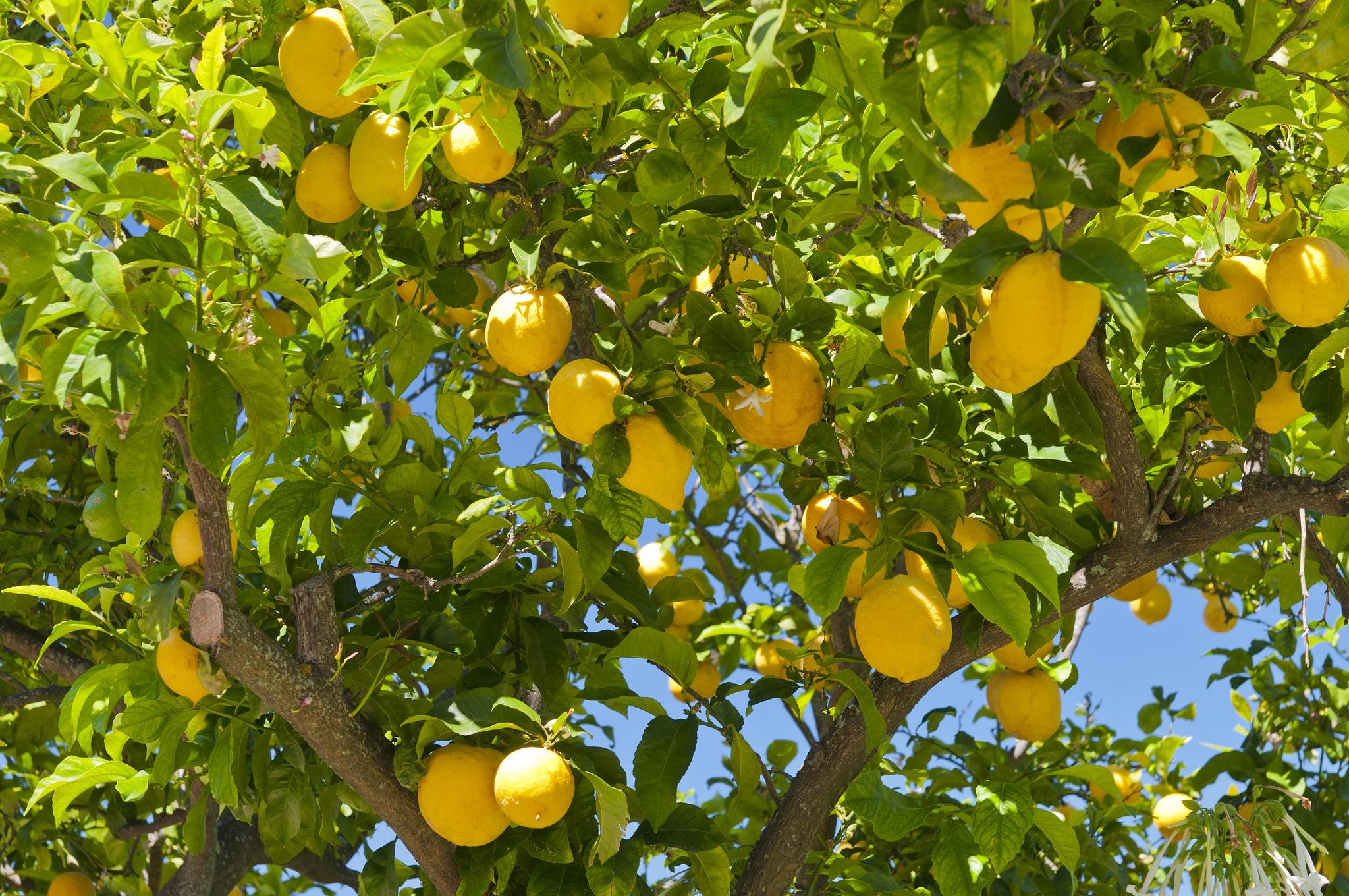 The Natural Fruit es uno de los principales productores de limones de España. Factura 200 millones.