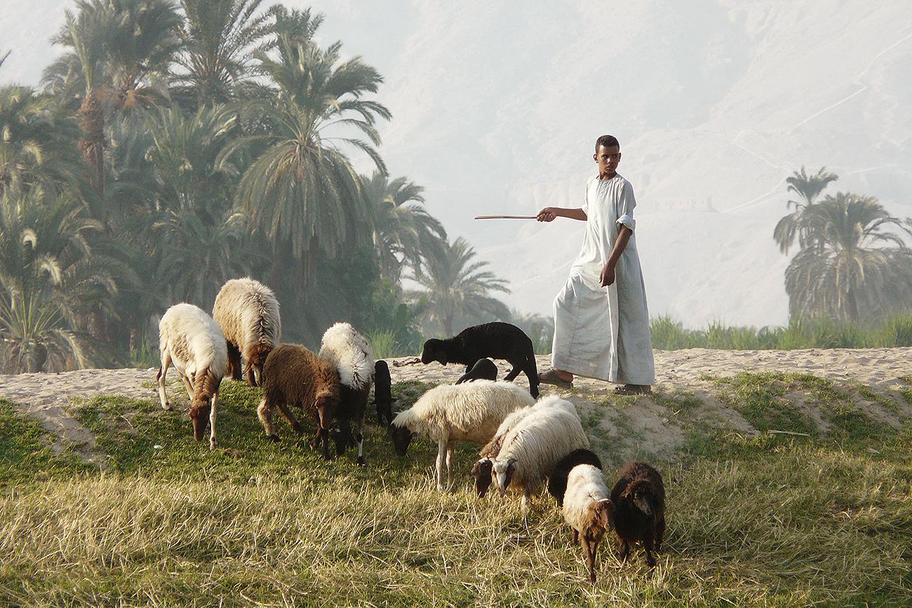 En la imagen se observa a un pastor egipcio junto a su rebaño de...