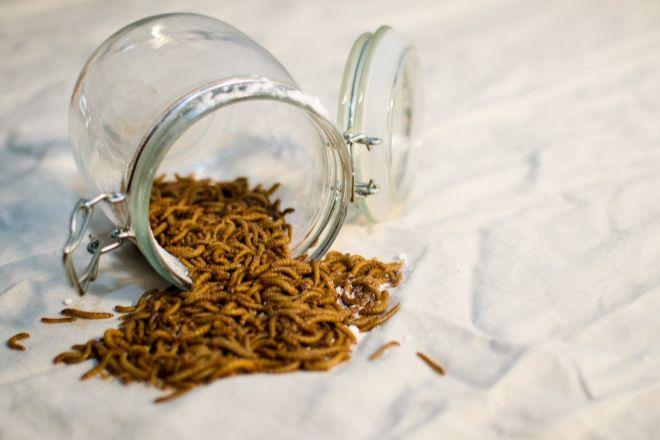 El gusano Tenebrio Molitor está autorizado para su consumo humano.