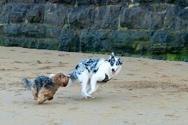 Dos perros juegan en la playa del Rinconín, en Gijón (Asturias).