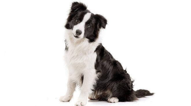 Border collie, el perro más inteligente del mundo.