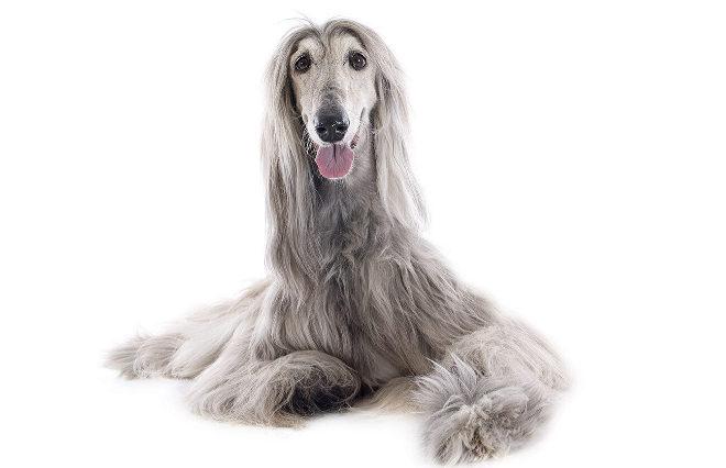 El galgo afgano es considera el perro menos listo del mundo.