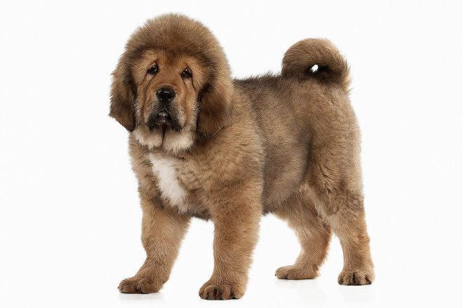 El mastín tibetano está considera el perro más caro del mundo.