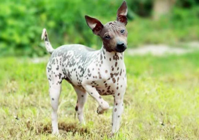 El american hairless terrier, el perro sin pelo.
