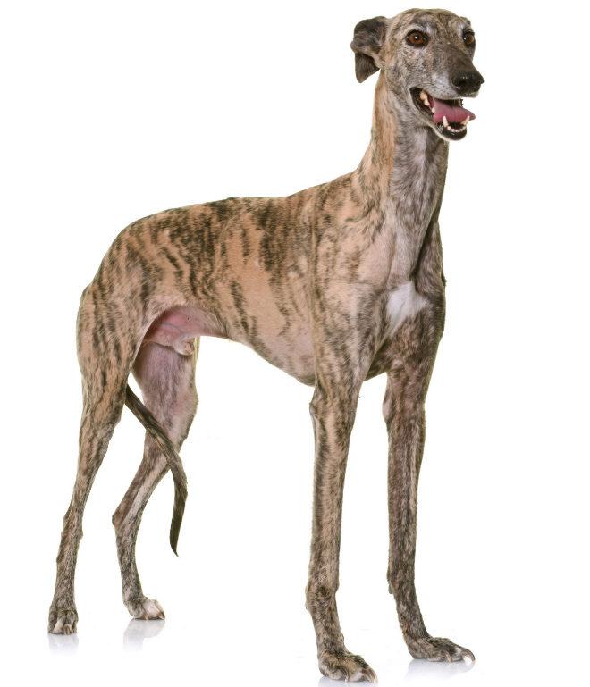 El galgo es el perro más rápido del mundo.