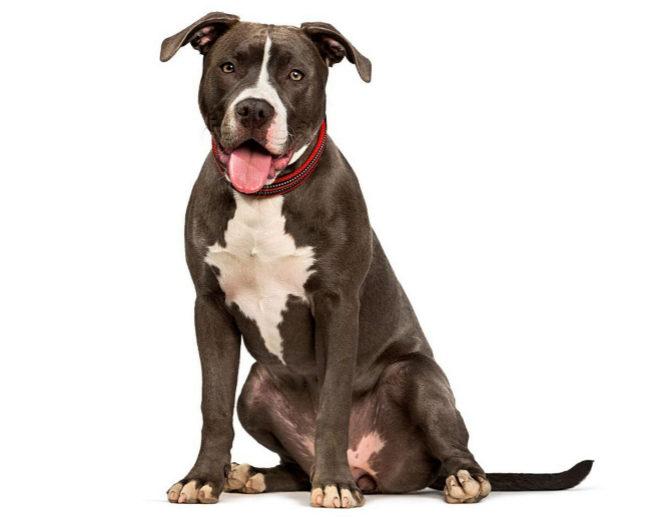 El pitbull terrier es considerado uno de los perros más peligrosos.