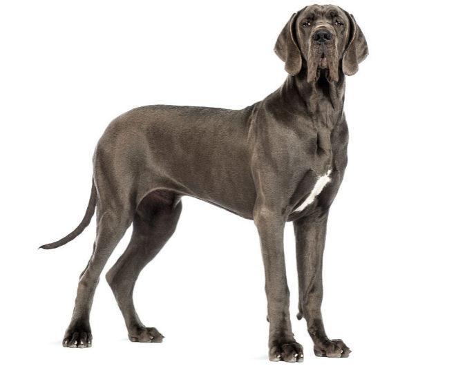 El gran danés es la raza de perro más grande del mundo.