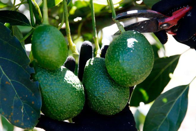 El cultivo de aguacates está proliferando en la isla italiana de Sicilia.