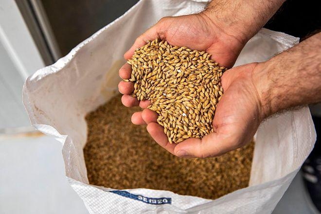 El primer paso para hacer una cerveza artesana es moler el grano de cebada, ingrediente base junto al agua.