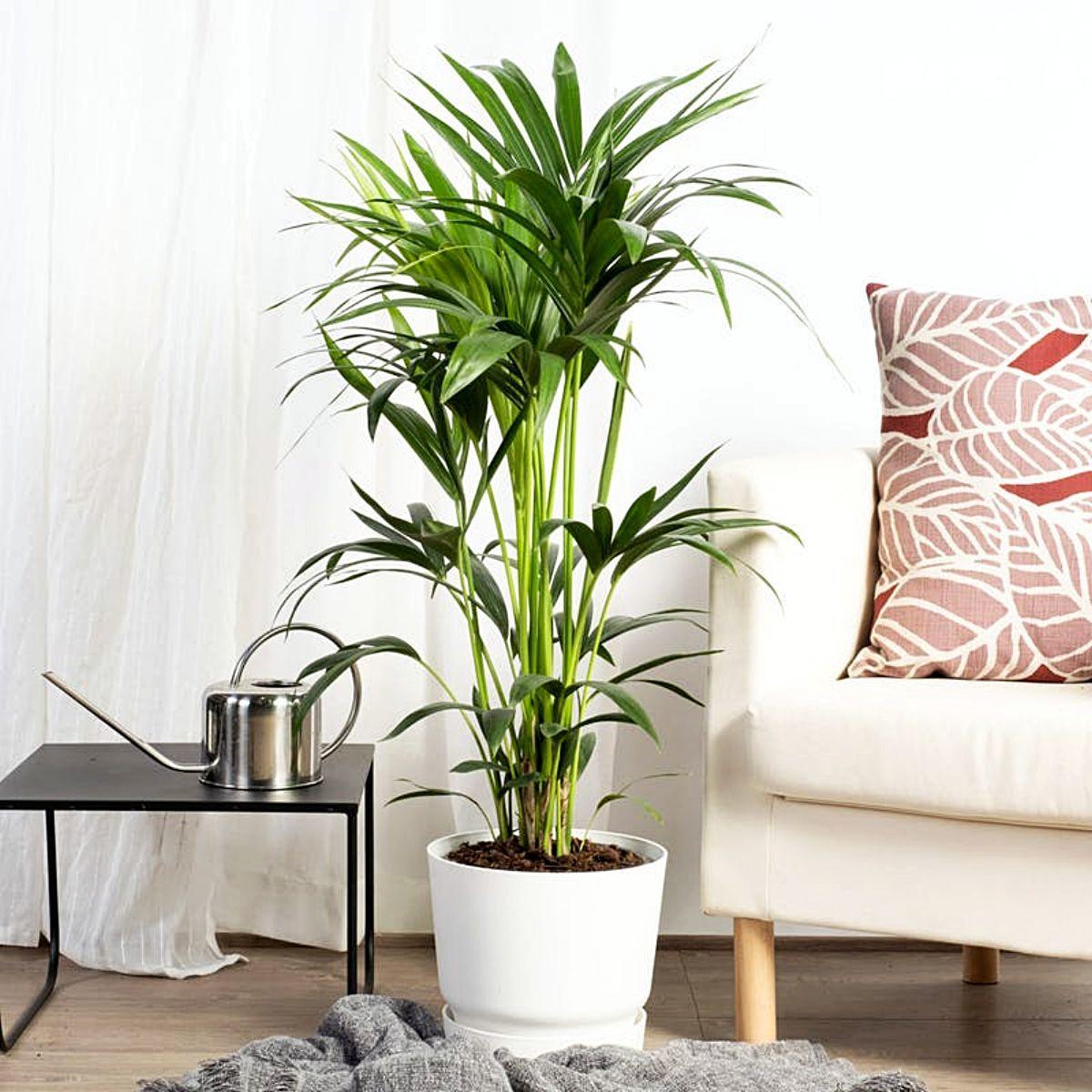Planta perfecta para decorar espacios con luz indirecta, como...