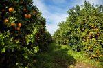 Cultivos protegidos, cuándo es ilegal plantar un árbol de mandarinas